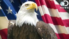 9 Facts You Didn't Know About Bald Eagles