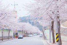 Sakura 벚꽃 봄 cherry blossom 桜