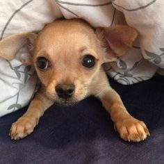 Can I stay under the covers for a few more minutes. Chihuahua
