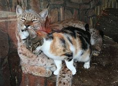 Stray cat sneaks into zoo enclosure, finds another cat