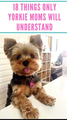 Yorkshire Terrier is one of the most popular dog breeds in the world, and despite their small size, Yorkies have big personalitie. Yorkie Poo Haircut, Yorkie Haircuts, Biewer Yorkie, Yorkie Puppy, Teacup Yorkie, Yorkshire Terrier Haircut, Yorkshire Terrier Puppies, Yorkshire Macho, Teacup Dog Breeds