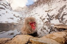 Japanese snow monkeys reside farther north than any other primate, aside from humans. In the Japanese Alps of Honshu Island, these Japanese macaques, better known as snow monkeys, display almost human social interaction. When the animals began frequenting a local hot spring, human residents decided to build a monkey-specific spring where the macaques can enjoy a daily afternoon bath and grooming. This group of monkeys is habituated to humans and felt no inhibitions about approaching.