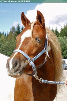 Hietarannan Julia - Shetland Pony mare