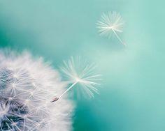 Dandelion photography 8x10 8x12 dandelion in flight