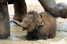 From World Elephant Day, one of 26 photos. Melbourne Zoo's. The Animals, Cute Baby Animals, Funny Animals, Animal Memes, Animal Antics, Melbourne Zoo, World Elephant Day, Baby Elefant, Cute Baby Elephant
