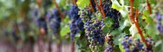 Photo about Grapes ripening on the vine. Extreme shallow depth of focus. Image of food, vinyard, organic - 193772 Homemade Wine Recipes, Jellystone Park, Family Vacation Spots, Water Into Wine, California Wine, Recipe Images, How To Make Homemade, Fine Wine, Wine Making