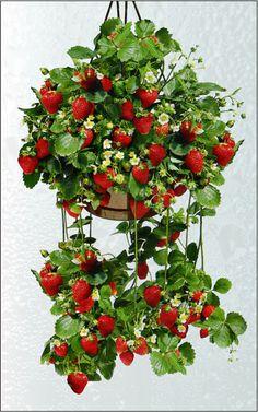 Faire pousser ses fraises chez soi en suspension dans la cuisine !