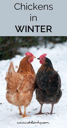 chickens in winter - ohlardy.com: