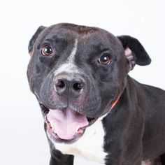 Meet Laser, an adoptable Pit Bull Terrier looking for a forever home. If you're looking for a new pet to adopt or want information on how to get involved with adoptable pets, Petfinder.com is a great resource.