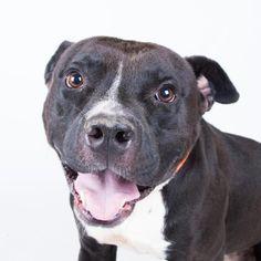Laser - URGENT - Dekalb County Animal Shelter in Decatur, Georgia - ADOPT OR…