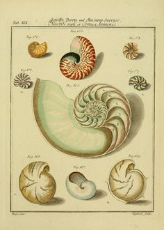 1 Bd. (1769) - Neues systematisches Conchylien-Cabinet / - Biodiversity Heritage Library                                                                                                                                                                                 More