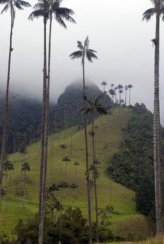 Valle de Cocora, Colombia -tallest palm trees in the world. The wax palm has an extremely slow growth and can live up to a hundred years. Costa Rica, Places To Travel, Places To See, Beautiful World, Beautiful Places, Guatemala, Colombia South America, Honduras, Bolivia