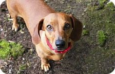 Taylor is a sweet and gentle 2-year-old Dachshund mix. She likes to place her paw on your leg to politely request an invitation onto your lap. Her cute looks and adorable mannerisms are a winning combination that will warm your heart. Taylor is ready for a home of her own so adopt her today at the Seattle Humane Society!