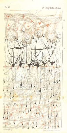 The First Neuron Drawings, 1870s | The Scientist Magazine®