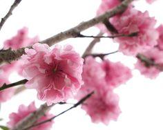 Cherry Blossom Photo Spring Photograph Fine Art