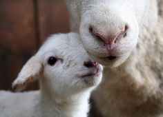 .I love lambies! Seriously...they are so sweet, cute and a little stinky, but the cute makes up for it!