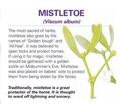Magical herb Mistletoe