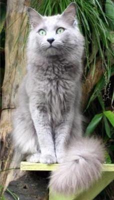 Nebelung - awesome looking cat