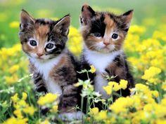 kitten wallpaper hd
