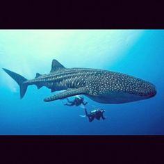 #PADI #WhaleShark #Scuba