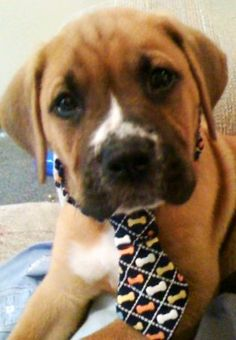 baby Capone dressed all snazzy for the hot dog festival.