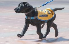 """Ten-week-old PADS pup """"Verdot"""" arrives, April 11th, at Burnaby's SFU campus to take part in a program to help de-stress students. The Pacific Assistance Dog Society brought a few dogs for students to p[et and handle."""