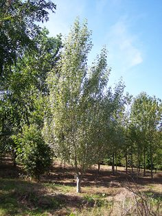 White Poplar - Populus Alba « Chew Valley Trees Tree Stakes, Poplar Tree, Wet Water, Hades And Persephone, Weed Killer, Story Setting, Yellow Leaves, Types Of Soil, Back Gardens