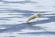 Polar bears.. Terrifying and heartbreaking at the same time.