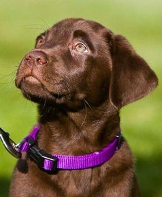 The Cutest Chocolate Lab Pictures