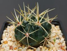 Gy. Monvillae ssp.Brachi var.Gertrudae | da Hibisco1