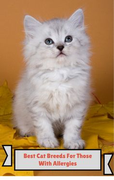 A friend asked me to research best cat breeds for people with allergies. He would love to have a cat, but allergies make it uncomfortable within minutes.