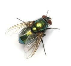 How to get rid of house flies
