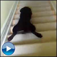 Puppy's Hilarious Way of Going Down Stairs Will Make You Smile - Funny Video# Online Pet Supplies, Dog Supplies, Golden Retriever Labrador, Golden Retrievers, Pitbull Terrier, Bull Terriers, Puppies Gif, Dog Days Are Over, Chocolate Lab Puppies