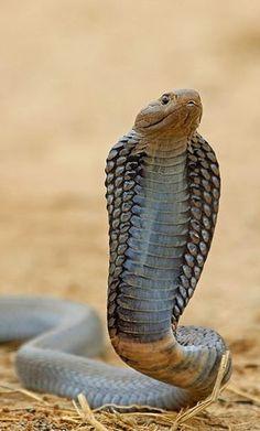 Black-necked Spitting Cobra, Sakania, DRC by Nigel Voaden @ flickr