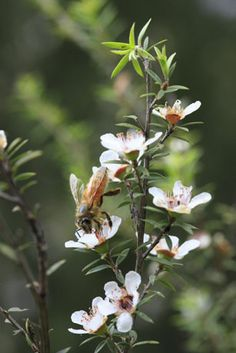 bee foraging on Manuka flowers, New Zealand