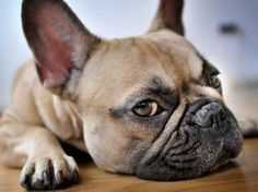 12 Dog Breeds Perfect for Condo & Apartment Living .... hey, they forgot SHIH TZUS