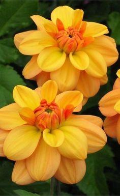 ~~Ginger Snap Dahlia ~ bronze-orange waterlily dahlia   Swan Island Dahlias~~