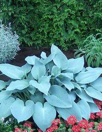 viherpeukalot ´Canadian Blue´ on näyttävä kasvi varjoisille kasvupaikoille. Se sopii hyvin perennapenkkin reunuksiin tai maanpeitteenä omana massanaan. Upeat siniharmaat lehdet antavat koristearvoa tälle perennalle, joka kukkii heinä-elokuussa vaaleanvioletein kukin. Kukinta: heinä-elokuu Kasvukorkeus: 30-40 cm Kasvupaikka: puolivarjoinen, varjoinen Talvenkesto: kestävä