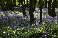 Bluebell Woods. Heartwood Forest, Harpenden, England, United Kingdom.