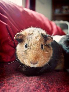 My guinea pigs :)