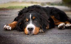 Bentley - Portrait - Meet Bentley a 6 month old Bernese Mountain Dog I met along the Songhees waterfront today