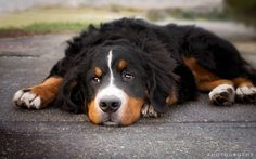 Bentley - Portrait - Meet Bentley a 6 month old Bernese Mountain Dog I met along the Songhees waterfront today