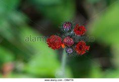 devil's paintbrush flower - Google Search