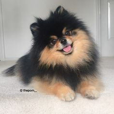 Happy humpday!!  we wanted to let you friends know that one of our dear friends found an account with a photo of Mocha with another Black and Tan Pomeranian puppy photo next to it saying that the puppy was for sale and I was the father.. We can't believe these scam artists  We have decided we will be using a watermark on our photos from now on so these scam artists don't target us from now on. Please be careful friends that this doesn't happen to you as well  by thepom__