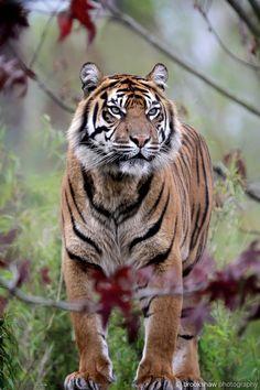"""brookshawphotography: """"A stunning Sumatran Tiger named Kirana at Chester Zoo… """""""
