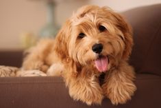 Cute Cockapoo - I totally wouldn't mind having one of these ♥