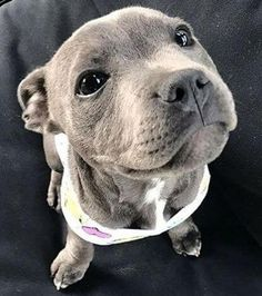 Cute Dogs And Puppies, I Love Dogs, Doggies, Pit Bull Puppies, Cute Little Animals, Cute Funny Animals, Baby Animals Pictures, Animals And Pets, Blueline Pitbull