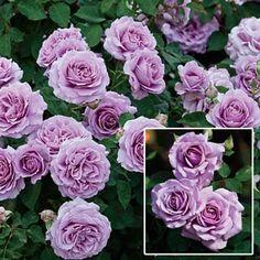 Lavender shrub roses