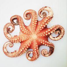 Octopus   VSCO Grid