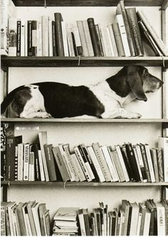 Bassets get into some crazy situations, but I suspect the owner was involved this time!